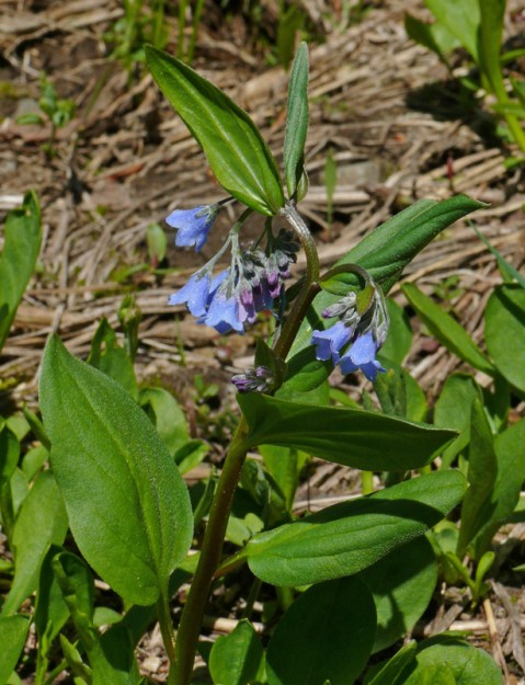 Oregon bluebells (Mertensia bella) is much daintier than the more common M. paniculata.