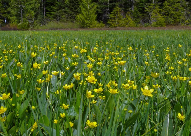 Mountain buttercups spread across many parts of the wet meadow.