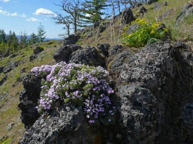 Phlox diffusa and Lomatium hallii light up the rocks on the summit ridge.