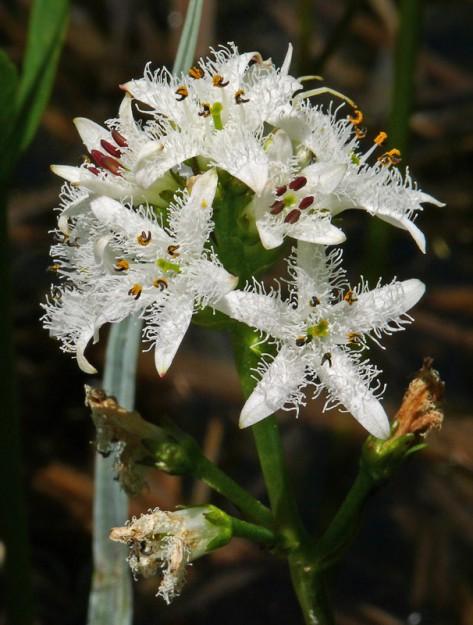 Bog buckbean (Menyanthes trifoliata)