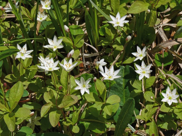 Arctic starflowers can be distinguished from the more common woodland western starflower (T. latifolia) not only from their boggy habitat but by their smaller leaves, which aren't in a single whorl.