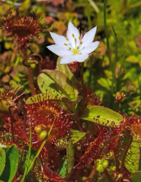 Sundews (Drosera rotundifolia) and starflowers. All we needed was a moonwort (Botrychium spp.) to complete the celestial theme.