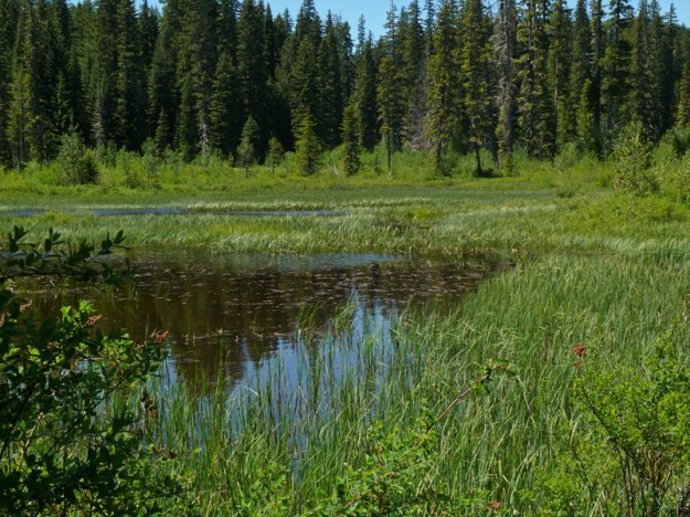 The pond in the northwest wetland was created by a beaver dam. Later in the summer, it is filled with aquatic plants.