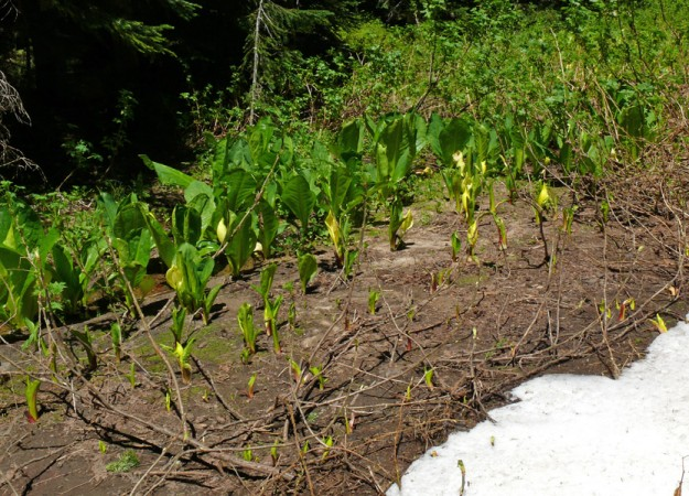 Within just a few feet from the last snowbank, one can see the development of the skunk cabbage from first emergence through blooming to fully leafed out.