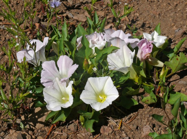 The night-blooming morning glory (Calystegia atriciplifolia), which actually does bloom during the day, was the most beautiful and abundant I've ever seen it.