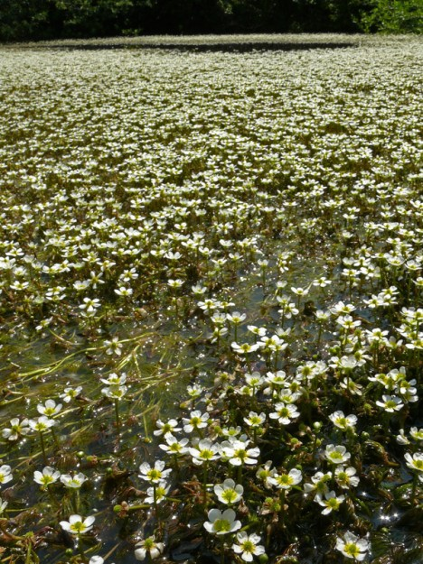 I had to wade into this little pond to photograph this amazing display of white water buttercup (Ranunculus aquatilis).