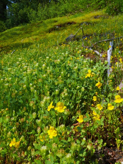 Cup clover is uncommon in the Cascades, but where it occurs, it can grow prolifically. Here it is joined by common monkeyflower, another seep lover.