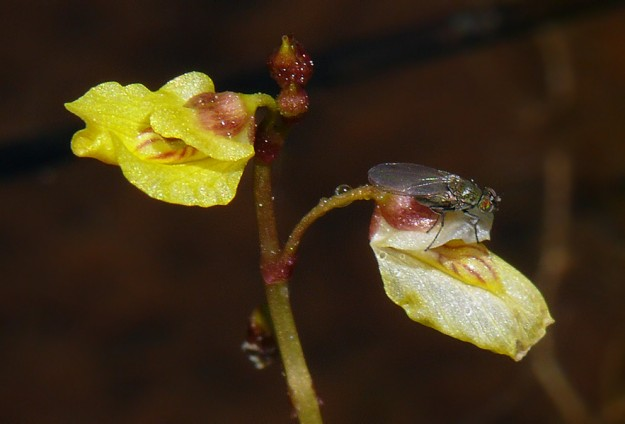 The flowers of lesser bladderwort are no more than 1/3 inch long. They fade and fall off quickly. This little fly climbed into the flower shortly after this photo was taken, so at least someone is able to spot these flowers.