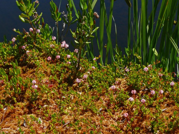 Like its neighbors bog laurel and sundew, small cranberry (Vaccinium oxycoccus) enjoys the sponge-like quality of sphagnum.