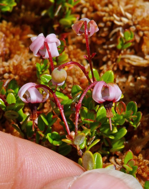 The flowers of small cranberry look much like tiny shooting stars (Dodecatheon spp.). The swept-back lobes are usually a sign of buzz pollination. Perhaps there are tiny bees that pollinate these, but I didn't notice any.