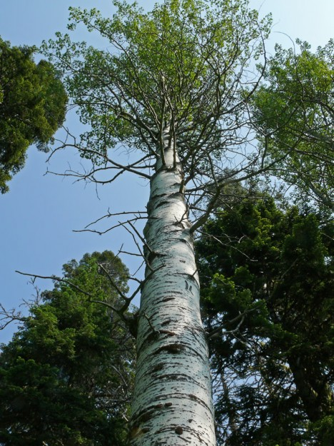 """The quaking aspen trees were quite large, some with a diameter of about 18"""". They must be quite old."""