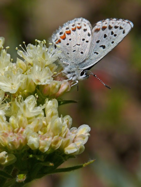 While the butterflies weren't as numerous as I've seen in the past, we did see quite a few, including this dotted blue nectaring on northern buckwheat (Erigonoum compositum).
