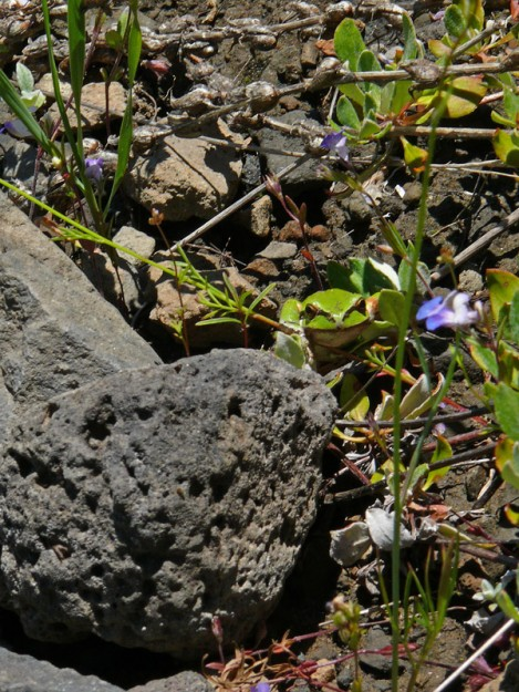 This Pacific chorus frog seemed out of place on the hot, rocky slope.