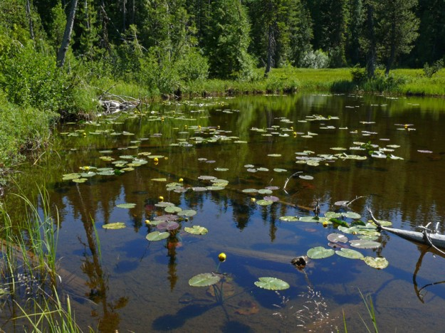 Pond lilies (Nuphar polysepala) bloom in both Anvil Lake and this smaller lake.