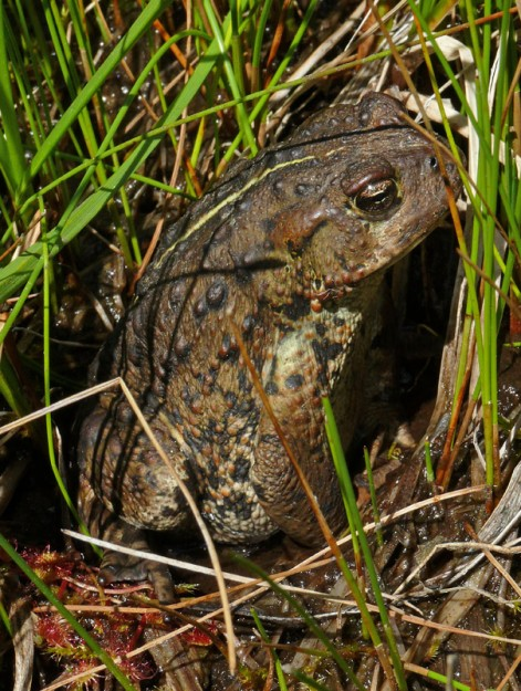 This boreal or western toad (Anaxyrus [Bufo] boreas) sat motionless for quite some time.