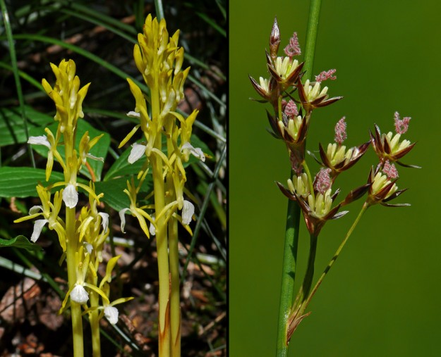 "Left: A highlight of the day was coming upon dozens of western coralroot (Coralorhiza mertensiana), including quite a few yellow ""albinos"". Right: Rushes are easy to ignore, but they can be quite stunning up close when in full bloom. I believe this one is Baltic rush (Juncus balticus)."