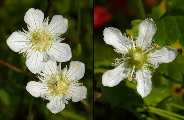 Parnassia cirrata (left) has staminodia with little balls at the ends that look like frogs' feet. The staminodia of P. fimbriata (right) have staminodia that look more like hands.