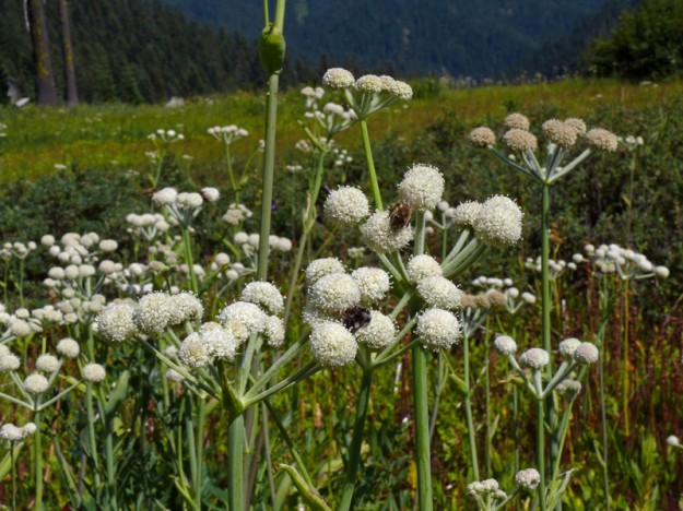 Rangers buttons (Sphenosciadium capitellatum) attracts lots of insects, including bees, as seen here.