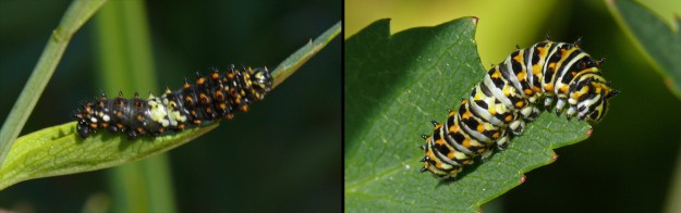 Like some other species, young anise swallowtail caterpillars bear some resemblance to bird droppings. They are also rather spiny. At each instar, they change their appearance a little.