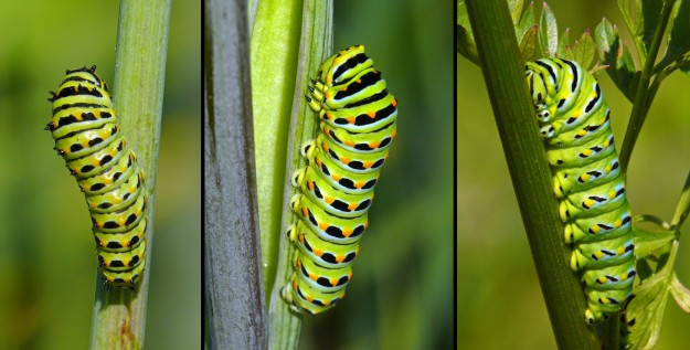 Older caterpillars become smooth and very brightly colored.