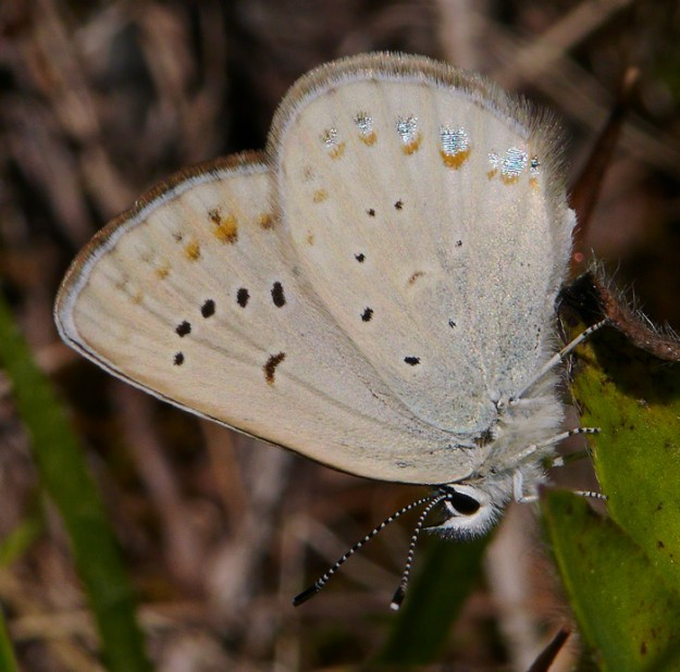 The scintillae (sparkling blue scales) on the wings of this Anna's blue are especially conspicuous.