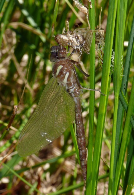 This dragonfly appears to have just hatched and still has not developed its full coloring.