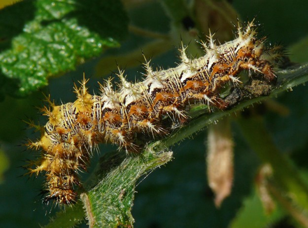 With all those spines, caterpillars of hoary commas aren't afraid to eat out in the open.