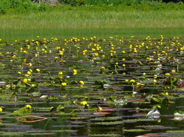 The pondlilies (Nuphar leptosepala) were in perfect bloom on some of the lakes.