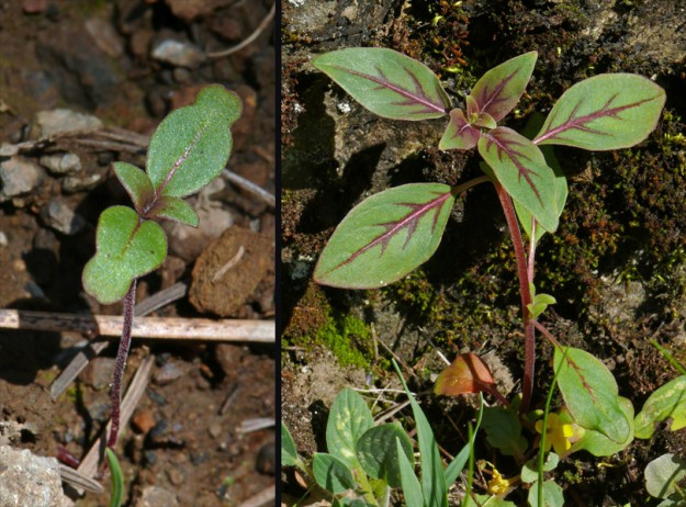 Left) The odd-looking cotyledon leaves of Clarkia rhomboidea. Right) A young plant showing the Coleus-like spring coloring.