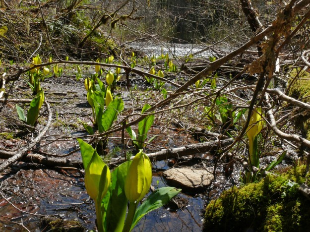 A beautiful stand of skunk cabbage marches out to the river