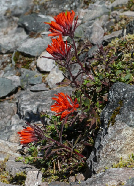 Cliff paintbrush (Castilleja rupicola) grows on the north side of cliffs and rocky slopes here near the southern extent of its range.