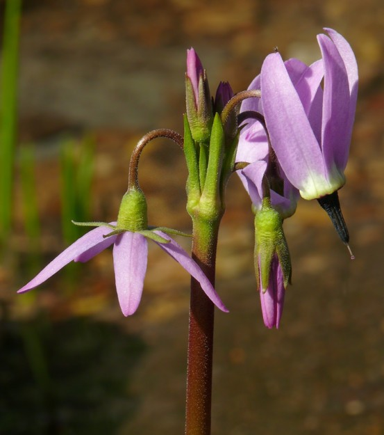 """shooting star flowers go through a number of changes as they bloom. Buds start out upright, then bend over. The flower petals start out forward, then they flip back. This makes it easier for bees to do """"buzz pollination"""" where they hang on the style and their buzzing shakes the pollen onto them."""