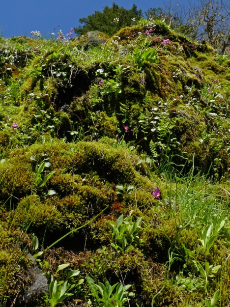 Clumps of bright pink beautiful shooting stars (Dodecatheon pulchellum) perch high above me on wet, mossy ledges.