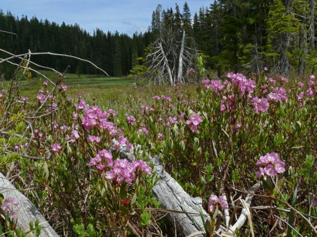 Pretty patches of pink alpine laurel (Kalmia microphylla) could be seen all over Quaking Aspen Swamp.