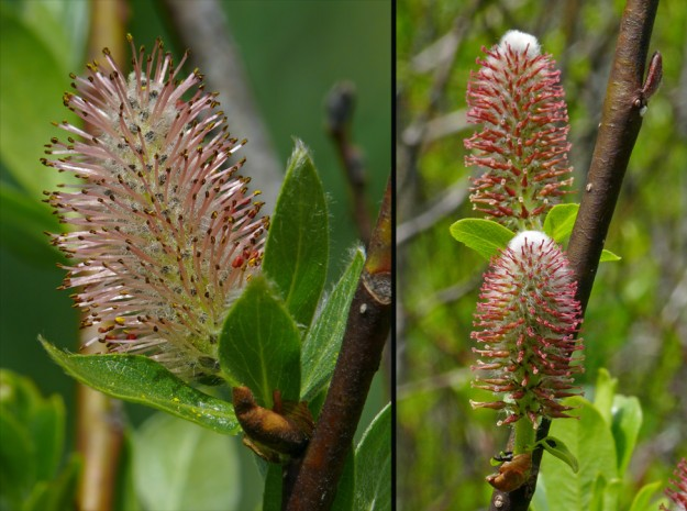 Left) unusually pink male Booth's willow flowers