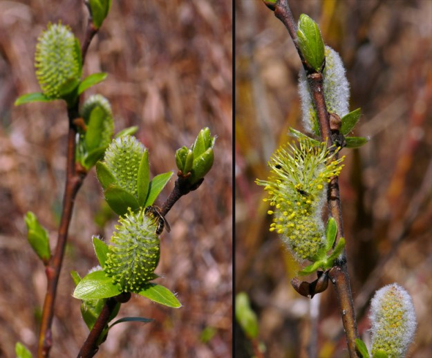 Sierra willow (Salix eastwoodiae) female (left) and male (right). Willows make good nectar plants in early spring when little else is available.