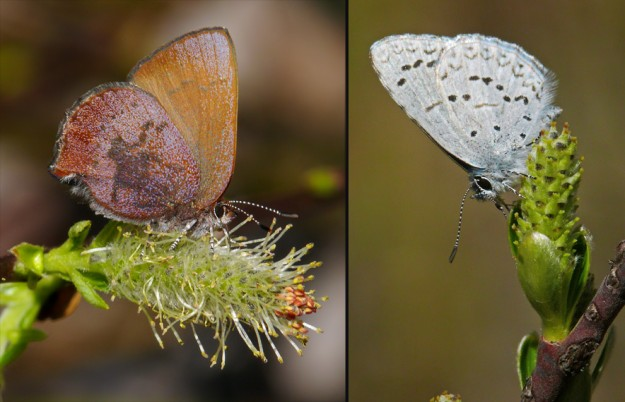 Left) A very fresh brown elfin on a male Sitka willow flower. Right) A echo (spring) azure on a female Sitka willow flower.
