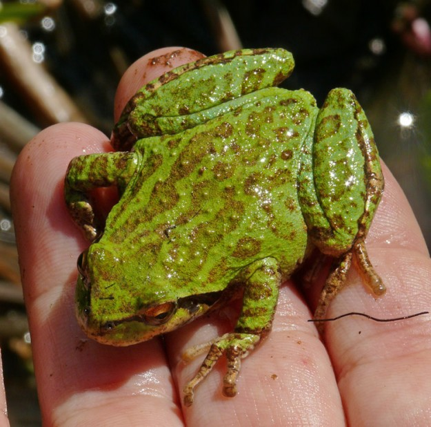 A very friendly and beautiful frog.