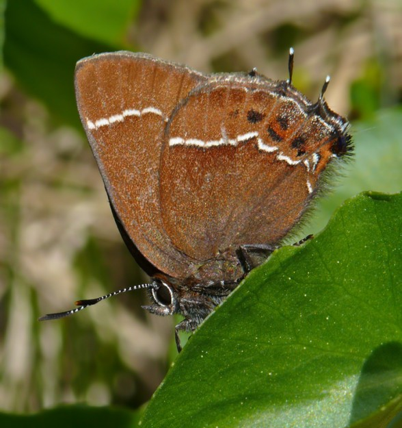 Johnson's hairstreak can be identified by the white, zig-zaggy stripe