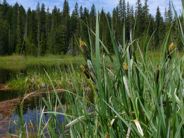 Sitka sedge (Carex aquatilis) blooming along the edge of the south pond in the northwest wetland.