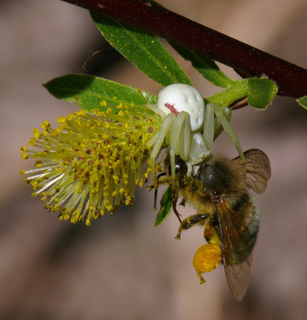 Crab spiders know that willows are insect pollinated and has caught an unsuspecting bee on Geyer's willow (Salix geyeriana).