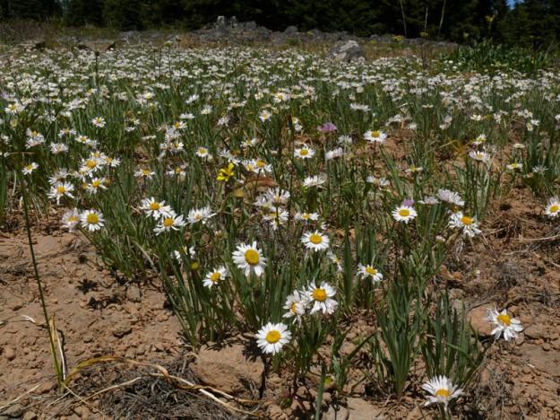 Eaton's daisy