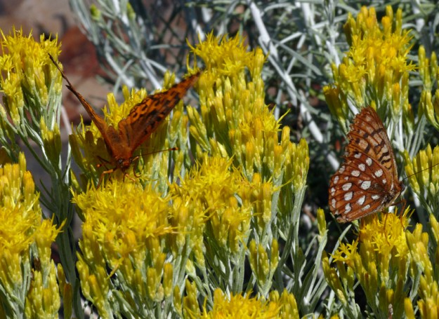 A couple of fritillaries appreciate rabbitbrush (Ericameria nauseosa)