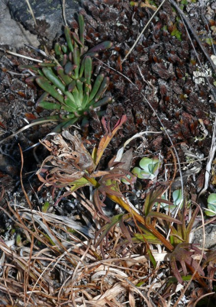 Columbia lewisia (Lewisia columbiana) and cliff paintbrush (Castilleja rupicola) side by side at Pyramid Rock