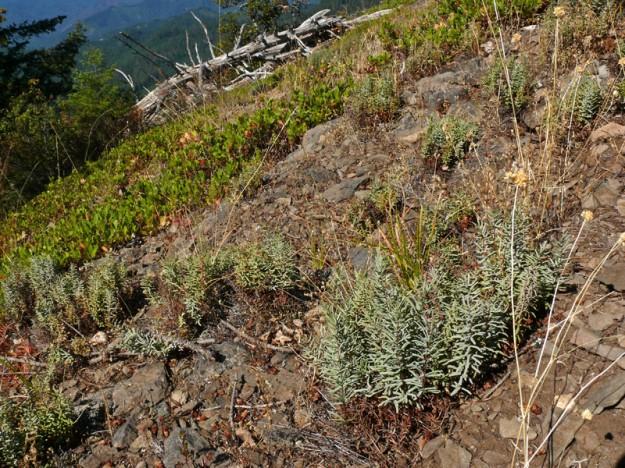 Sierra cliffbrake (Pellaea brachyptera) at Pyramid Rock