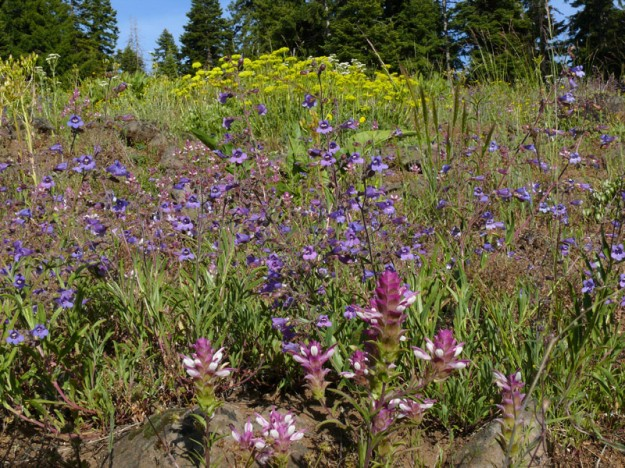 Toothed owl-clover, Roezl's penstemon, and sulphur buckwheat on near the east side of Hyatt Lake.