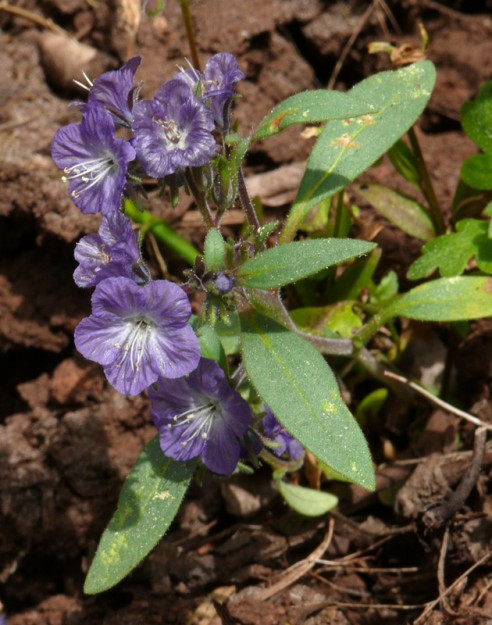 Peck's phacelia seems to like vernally wet areas and was spotted in several low spots during the trip.