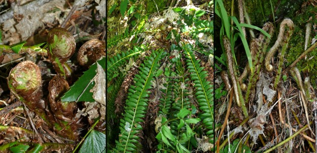 Holly fern (Polystichum lonchitis) is usually easy to differentiate from the common sword fern (P. munitum) by the small, triangular pinnnae at the base of the fronds, but sometimes it is not as clear cut as that. Ed pointed out to us that holly fern fiddleheads are coiled in a circle (left)