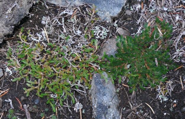 Left) Wallace's spikemoss (Selaginella wallacei)