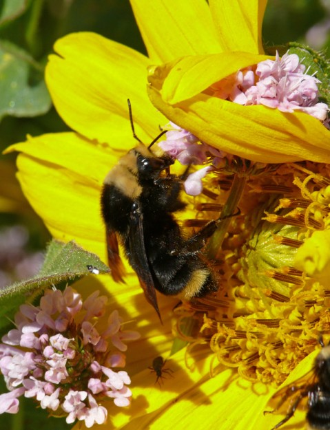 This super-sized bumble bee was enjoying the rosy plectritis as well as the mule's ears.